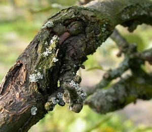 Obstbaumkrebs-Pilzbefall am Obstbaum